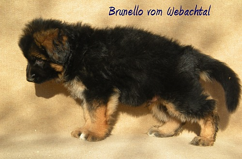 Cucciolo Pastore Tedesco vom Webachtal