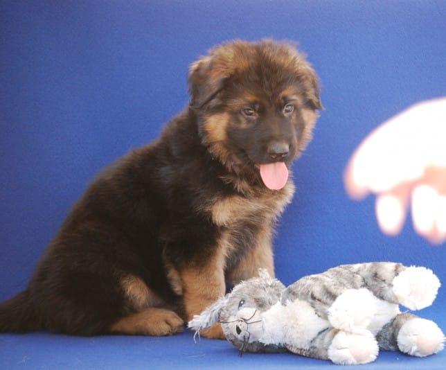 cucciolo-pastore-tedesco-pelo-lungo-janez-vom-webachtal-07