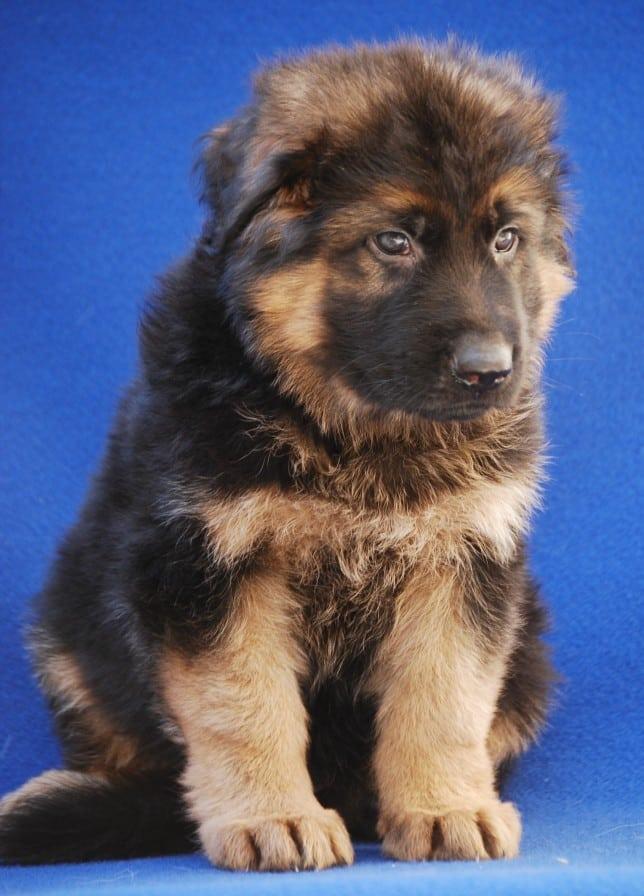 cucciolo-pastore-tedesco-pelo-lungo-janez-vom-webachtal-09