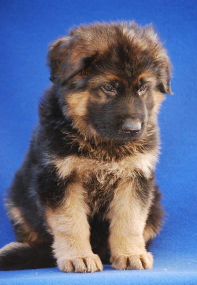 cucciolo-pastore-tedesco-pelo-lungo-janez-vom-webachtal-10