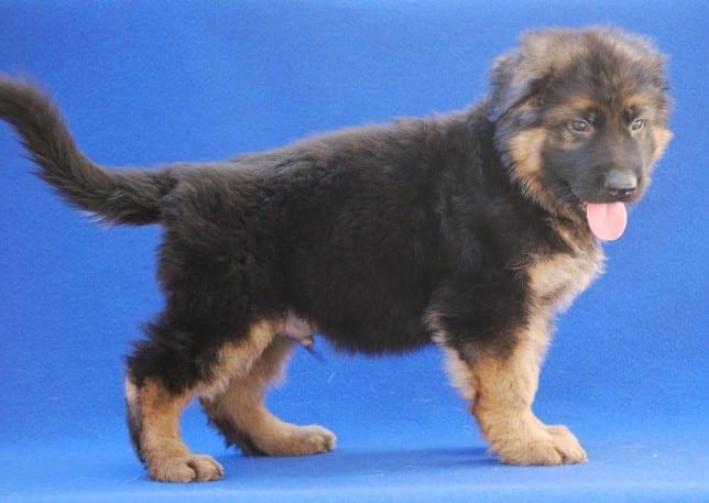 cucciolo-pastore-tedesco-pelo-lungo-janez-vom-webachtal-11