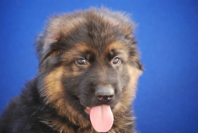 cucciolo-pastore-tedesco-pelo-lungo-janez-vom-webachtal-13
