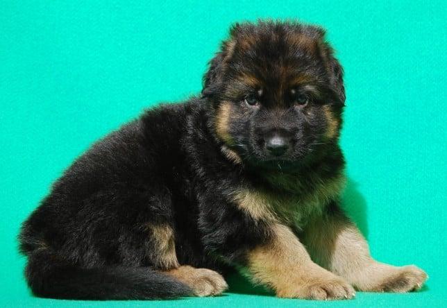 cucciolo-pastore-tedesco-pelo-lungo-webachtal-01