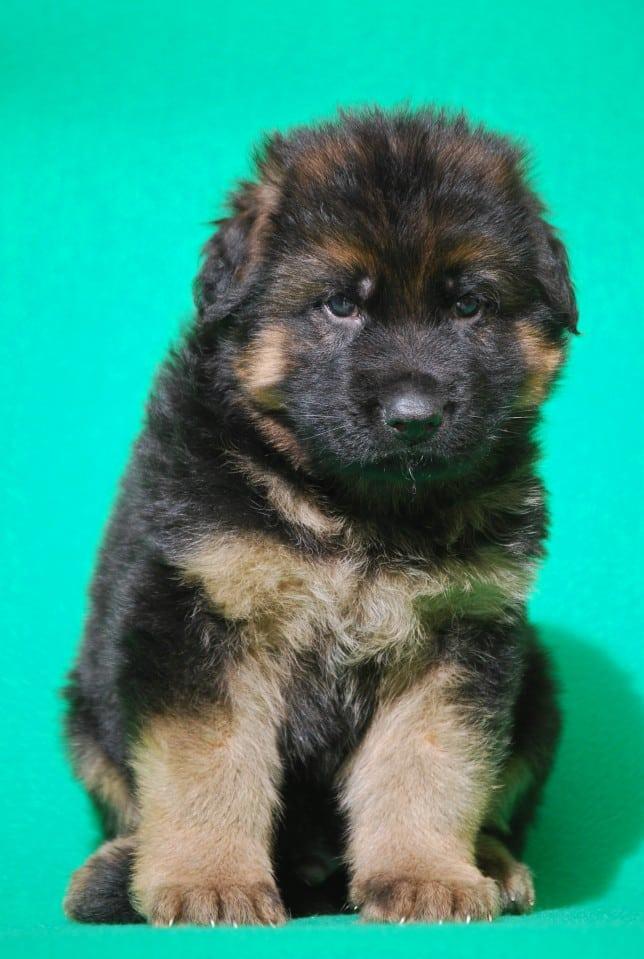 cucciolo-pastore-tedesco-pelo-lungo-webachtal-02