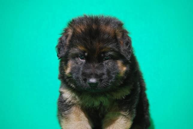 cucciolo-pastore-tedesco-pelo-lungo-webachtal-03