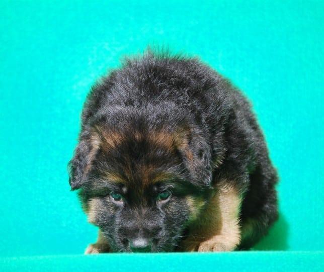 cucciolo-pastore-tedesco-pelo-lungo-webachtal-04