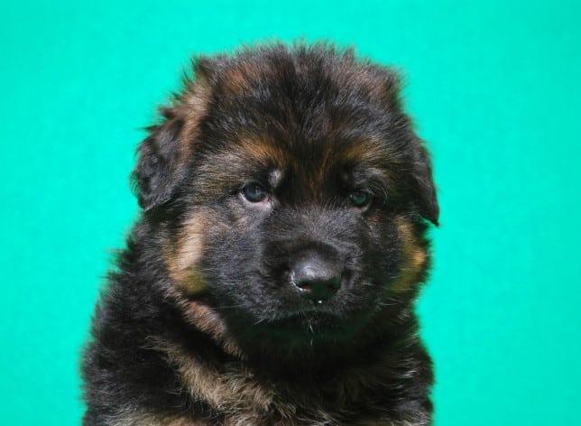 cucciolo-pastore-tedesco-pelo-lungo-webachtal-05
