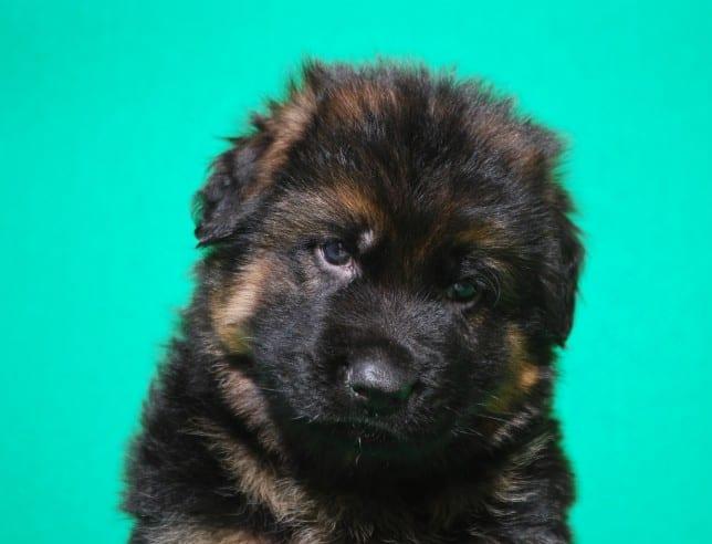 cucciolo-pastore-tedesco-pelo-lungo-webachtal-06