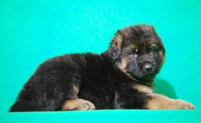 cucciolo-pastore-tedesco-pelo-lungo-webachtal-07