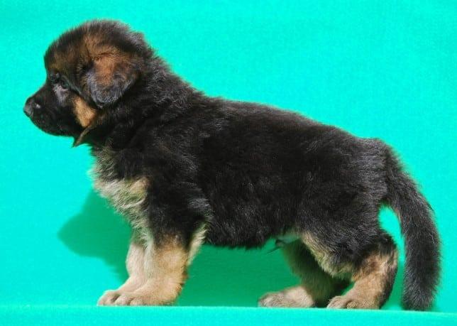cucciolo-pastore-tedesco-pelo-lungo-webachtal-08