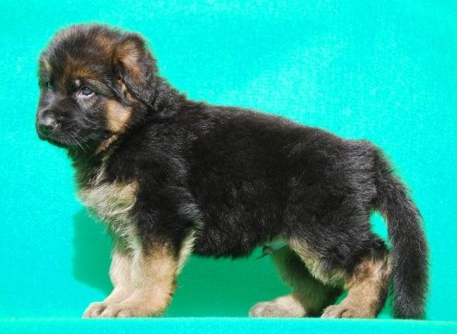 cucciolo-pastore-tedesco-pelo-lungo-webachtal-09