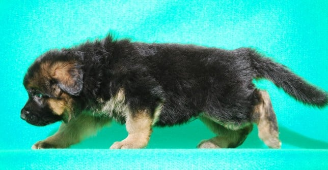 cucciolo-pastore-tedesco-pelo-lungo-webachtal-10