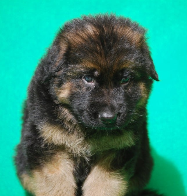 cucciolo-pastore-tedesco-pelo-lungo-webachtal-11