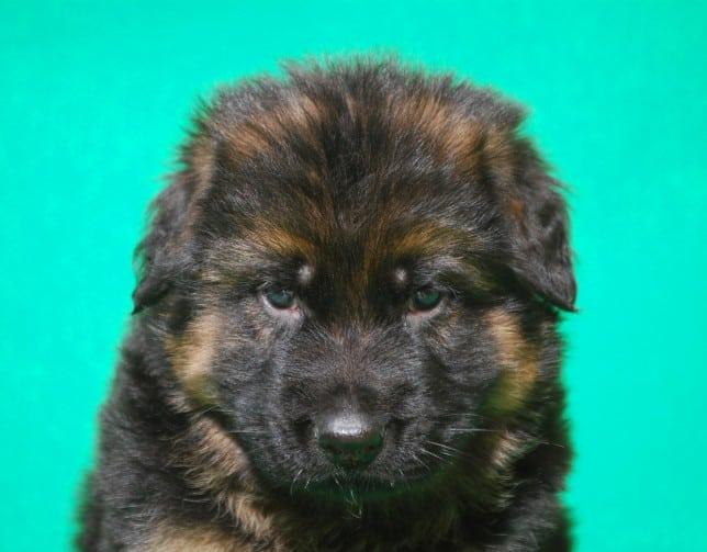 cucciolo-pastore-tedesco-pelo-lungo-webachtal-12